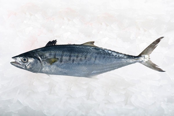 ماهی شیر Spanish Mackerel