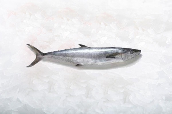 ماهی قباد Indo-Pacific king mackerel