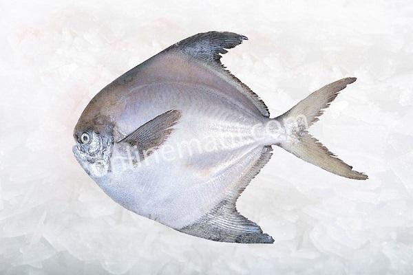 White Halvah Fish