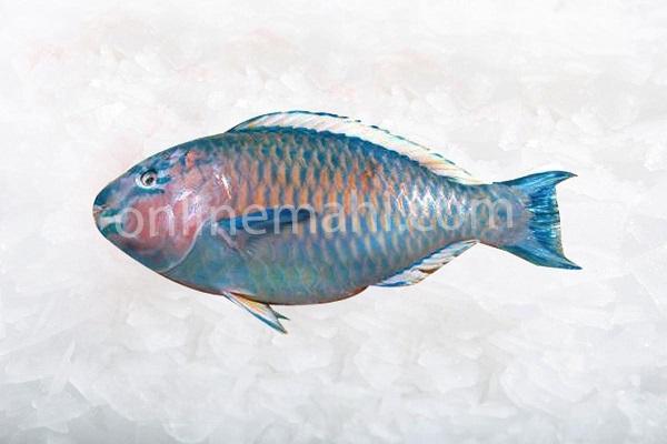 Fish parrot